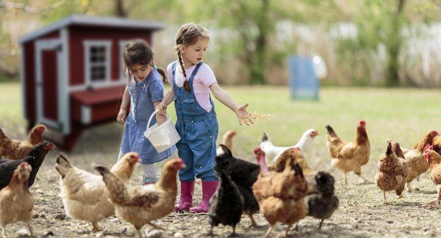 girls feeding chickens